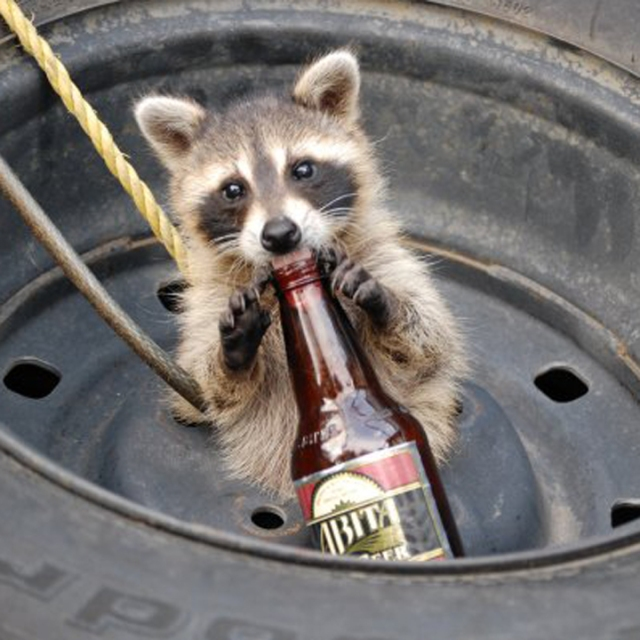BeerRaccoon-720sq
